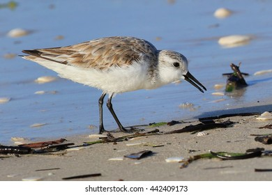 Sanderling foraging along the beach