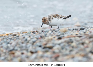 Sanderling foraging in the pebbles at the edge of the water. Ashbridges Bay Park, Toronto, Ontario, Canada.