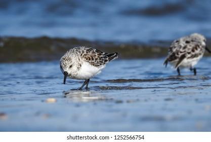 Sanderling foraging in the sea
