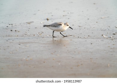 Sanderling hunting mollusks in early morning surf at Daytona Beach Florida.