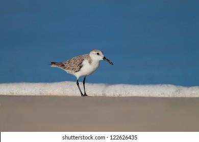 a sanderling in its natural habitat