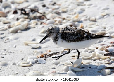 Sanderling Sandpiper (Calidris alba) running in White Sand on Sanibel Island in Florida