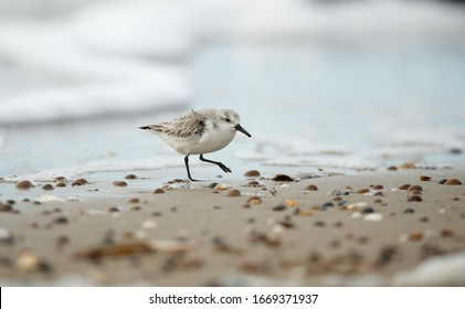 Sanderling wading bird foraging on the beach with seashells