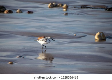 Sanderlings (Calidris alba) small wading birds searching for food at the waters edge in Agadir, Morocco, Africa