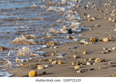Sanderlings (Calidris alba) small wading birds, running up the beach from incoming waves as they search for food in Agadir, Morocco, Africa