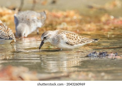 Sanderlings preying on Japanese sandy beaches on the way