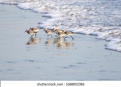 Sanderlings (sandpipers) along the Pacific shoreline of Nicaragua. - Shutterstock ID 1688852386