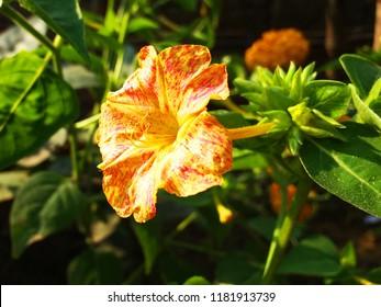 Sandhamoni/Sondhamaloti Flower  Mirabilis Jalapa/Mirabilis Jalapa/Fhe Marvel Of Peru Or Four O'Clock Flower.