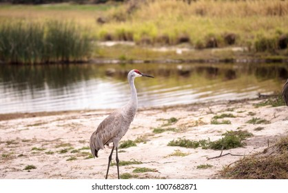 Sandhill crane bird Grus canadensis forages for food in the marsh at the Myakka River State Park in Sarasota, Florida