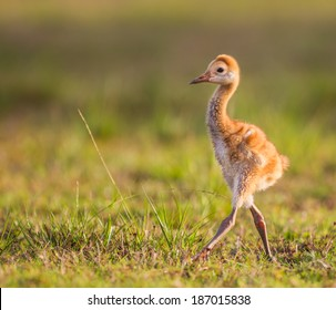 Sandhill crane chick camera right
