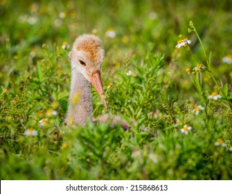 Sandhill crane chick in field of wild flowers