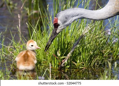 Sandhill Crane and Chick (Grus canadensis)