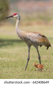 Sandhill crane with chick (Grus canadensis), Florida, United States