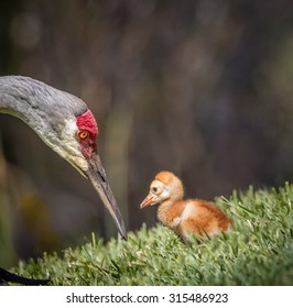Sandhill crane chick and mom around Easter