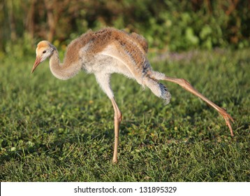 Sandhill crane chick stretching