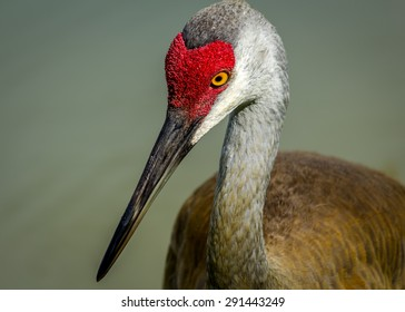 Sandhill Crane, Color image, Closeup, Florida Wildlife