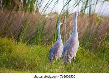 A Sandhill Crane Couple
