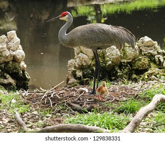 Sandhill Crane with a Cute Little Baby