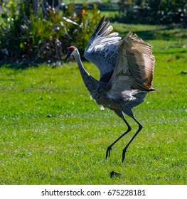 A Sandhill Crane dancing for its mate.
