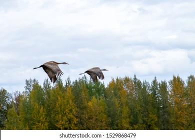 Sandhill crane during stopover at Creamer's Field, Fairbanks, Alaska on southward migration at end of summer