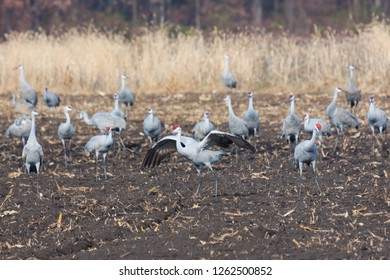 Sandhill crane eat from a recently plowed farm field. One crane raises and flaps its wings to protect the flock.
