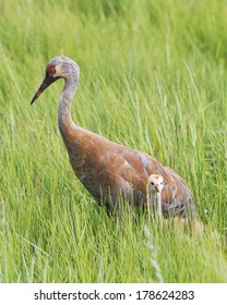 sandhill crane family on walk
