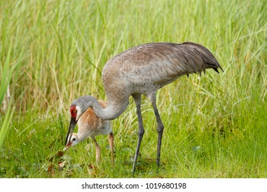 A sandhill crane feeding it's young chick.