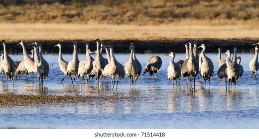 Sandhill Crane flock wintering at Bosque del Apache National Wildlife Refuge in New Mexico