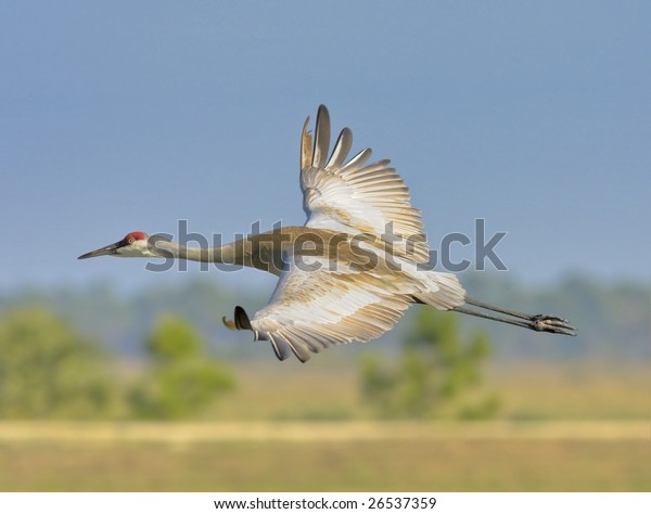 sandhill crane flying above wetlands