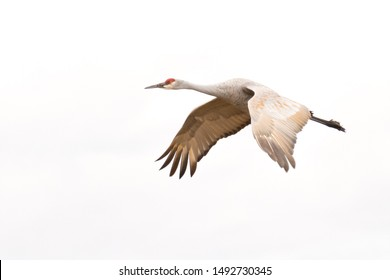 Sandhill Crane flying against white sky. Wings down. New Mexico, USA.