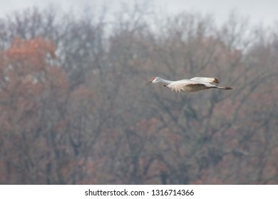 A sandhill crane glides to a landing in front of autumn colored trees.