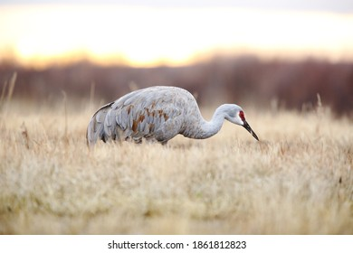 Sandhill crane in the grass in morning
