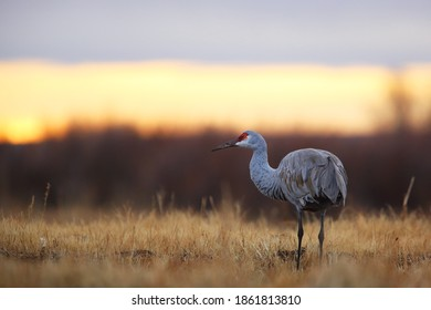 Sandhill crane in grass in sunrise