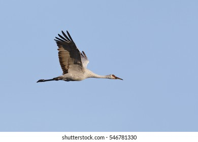Sandhill Crane (Grus canadensis) in flight - Gainesville, Florida
