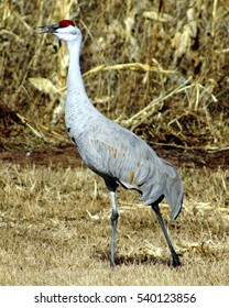 Sandhill crane honking loudly. Poblanos Fields Open Space, Albuquerque, New Mexico.