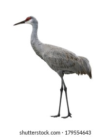 Sandhill Crane, Isolated On White Background
