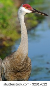 Sandhill Crane Located on a Lake in Florida