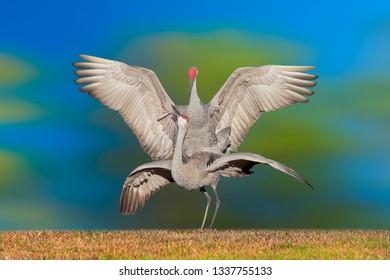 Sandhill crane, mating couple. Latin name - Grus cannadensis.