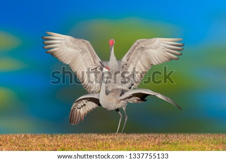 sandhill-crane-mating-couple-latin-450w-