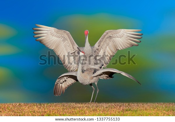 sandhill-crane-mating-couple-latin-600w-
