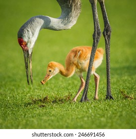 Sandhill crane mother feeding her chick