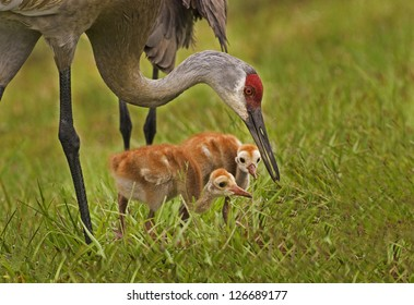 Sandhill Crane mother showing chicks food