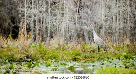 Sandhill crane in the Okefenokee National Wildlife Refuge, Georgia