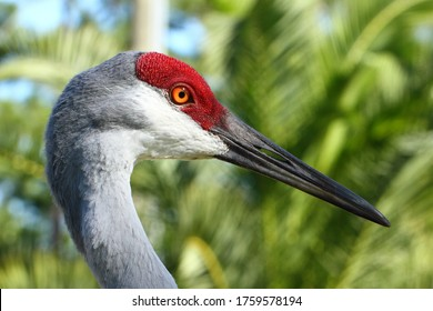 Sandhill Crane Profile against Florida Palm Trees