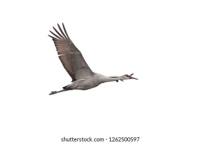 A Sandhill crane soars across a white background with its wings wide open.