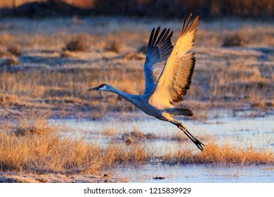 Sandhill Crane spreads its wings to fly at dawn near Monte Vista, Colorado.