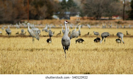 Sandhill crane standing in front of other cranes. Poblanos Fields Open Space, Albuquerque, New Mexico.