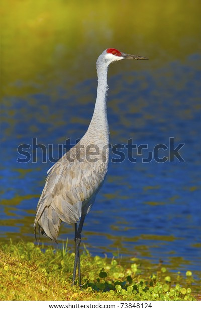 Sandhill crane standing on shore with beak in sand, full figure. Latin name - Grus cannadensis.