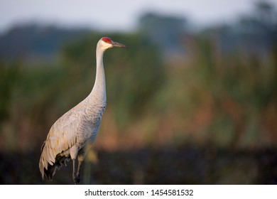 A Sandhill Crane stands tall in green grass with a smooth textured background of green marsh grasses.