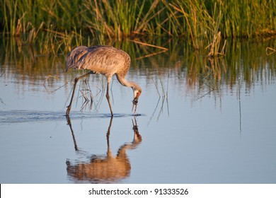 Sandhill crane stoops to catch a fish